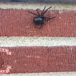 brick blackwidow spider meownself blackwidowspider