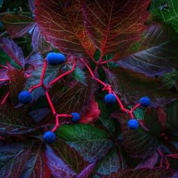 blue berries autumn fall leafs