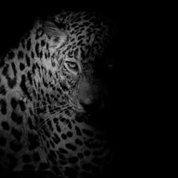 blackandwhite tiger black eyes photography