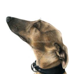 whipped sighthounds petportrait pencilart petpics