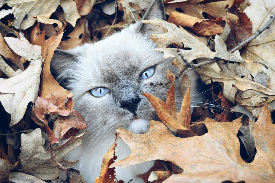 #FreeToEdit  #colorful  #cat  #fall  #leaves  #eyes  #photography  #catsofpicsart