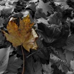 blackandwhite autumnleaves autumnal autum