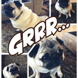 pugs4life grrrr photographer freetoedit