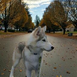 fall husky puppy siberianhusky phonephotography