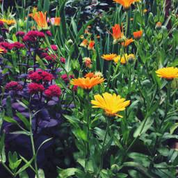 fettehenne ringelblume rot orange gelb